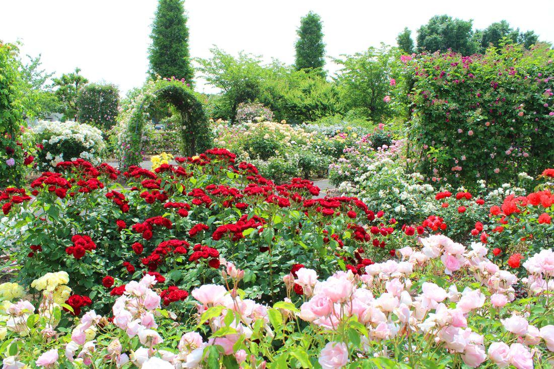 růže_záhon růží