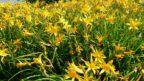 denivky-se-k-rezu-prilis-nehodi-kvety-vydrzi-pouze-jediny-den.-144x81.jpg