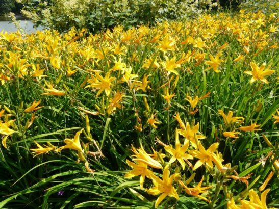 denivky-se-k-rezu-prilis-nehodi-kvety-vydrzi-pouze-jediny-den.-547x410.jpg