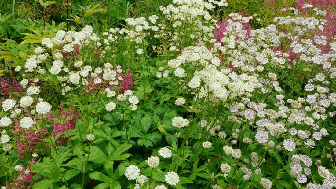 jarmanka-vetsi-je-oblibena-i-v-profesionalni-floristice.-1100x618.jpg