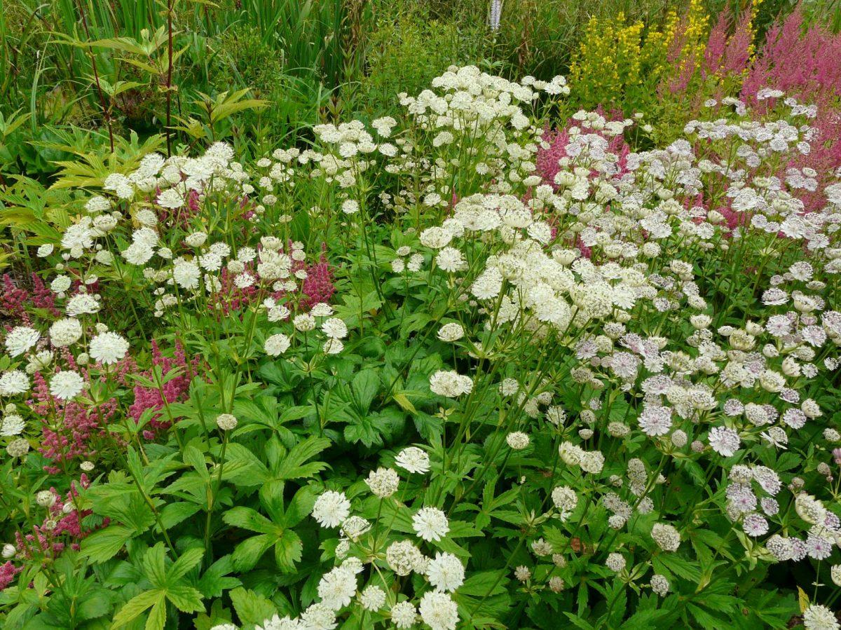 jarmanka-vetsi-je-oblibena-i-v-profesionalni-floristice.-1200x1200.jpg