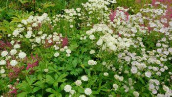 jarmanka-vetsi-je-oblibena-i-v-profesionalni-floristice.-352x198.jpg