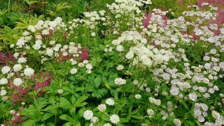 jarmanka-vetsi-je-oblibena-i-v-profesionalni-floristice.-728x409.jpg