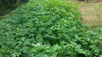 pestovani-brambor-neni-nic-sloziteho-je-ovsem-treba-zahony-spravne-pripravit-na-jejich-vysadbu.-352x198.jpg