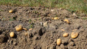 pestovani-brambor-prilis-nepreji-dlouhodoba-sucha-se-kterymi-jsme-bojovali-hlavne-v-lonskem-roce.-352x198.jpg