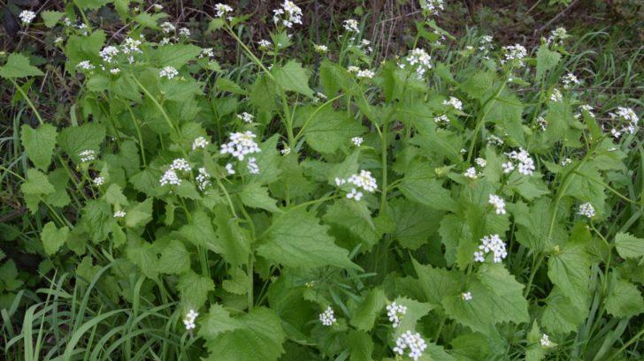 plane-druhy-bylinek-si-mnohdy-ani-nemusite-predpestovat-samy-se-totiz-na-zahradu-nastehuji-z-okoli.-728x409.jpg