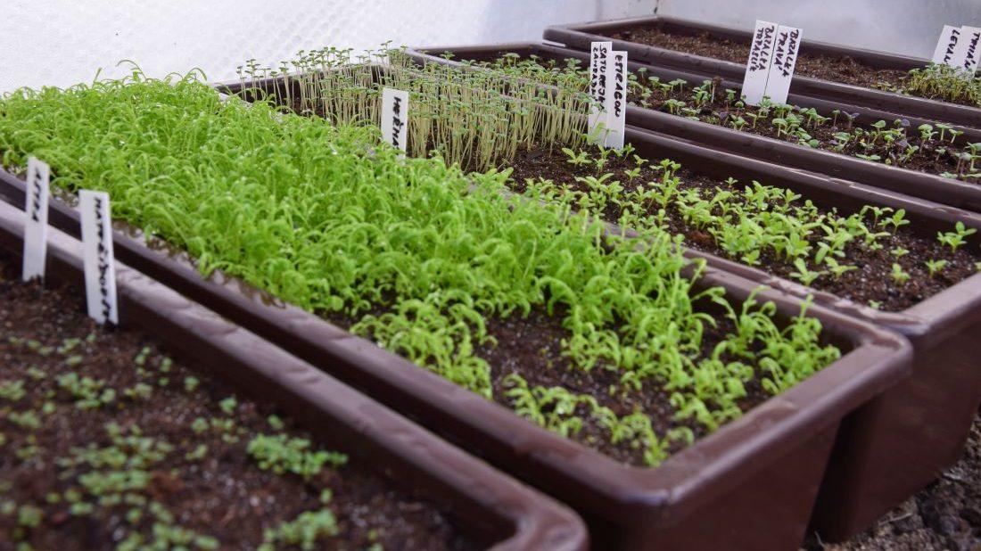 predpestovanim-ze-semen-si-zajistite-velke-mnozstvi-sadby.-1100x618.jpg