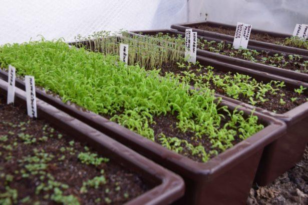 predpestovanim-ze-semen-si-zajistite-velke-mnozstvi-sadby.-615x410.jpg