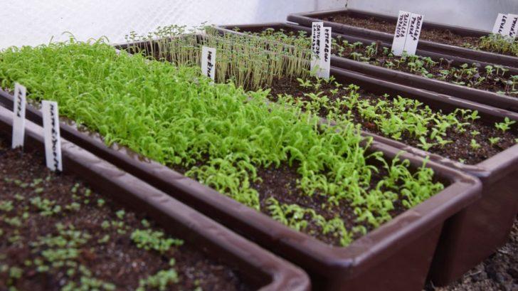predpestovanim-ze-semen-si-zajistite-velke-mnozstvi-sadby.-728x409.jpg