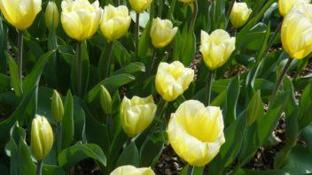 velkokvete-tulipany-patri-mezi-druhy-ktere-na-zahrade-vytvori-maximalni-efekt.-352x198.jpg
