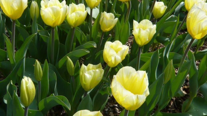 velkokvete-tulipany-patri-mezi-druhy-ktere-na-zahrade-vytvori-maximalni-efekt.-728x409.jpg