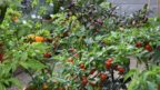 barevna-skala-chilli-papricek-se-pohybuje-od-ciste-bile-az-temer-po-cernou-144x81.jpg