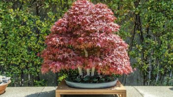 bonsai-japonsky-javor-_shutterstock_538566358-352x198.jpg