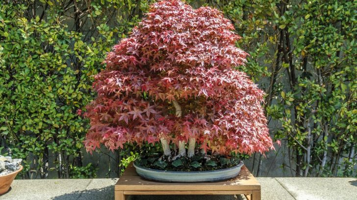 bonsai-japonsky-javor-_shutterstock_538566358-728x409.jpg