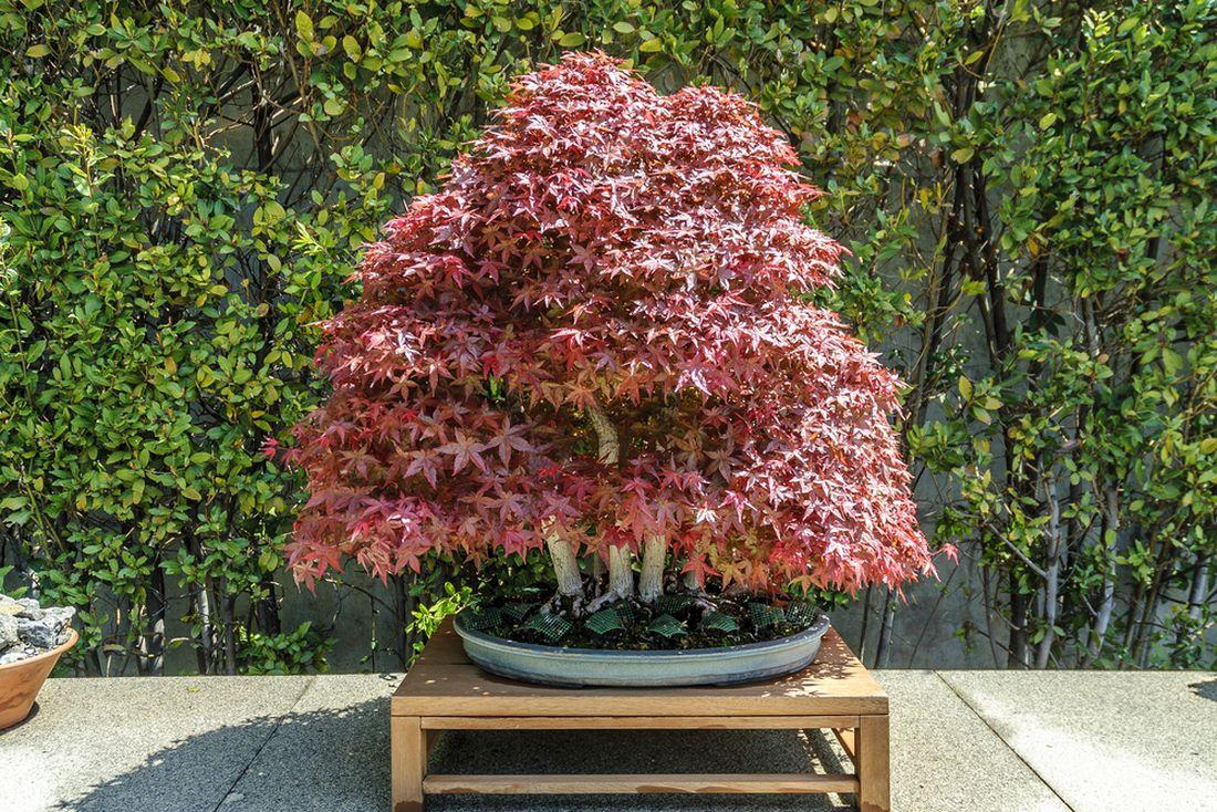 bonsai japonský javor _shutterstock_538566358