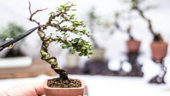 bonsai_shutterstock_779074561-352x198.jpg