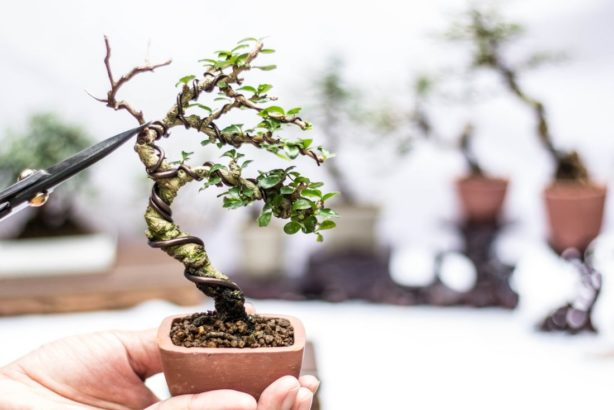 bonsai_shutterstock_779074561-614x410.jpg