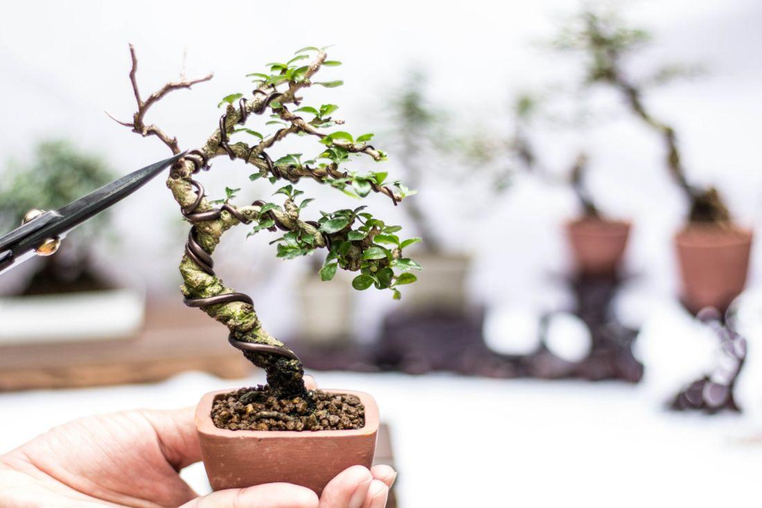 bonsai_shutterstock_779074561