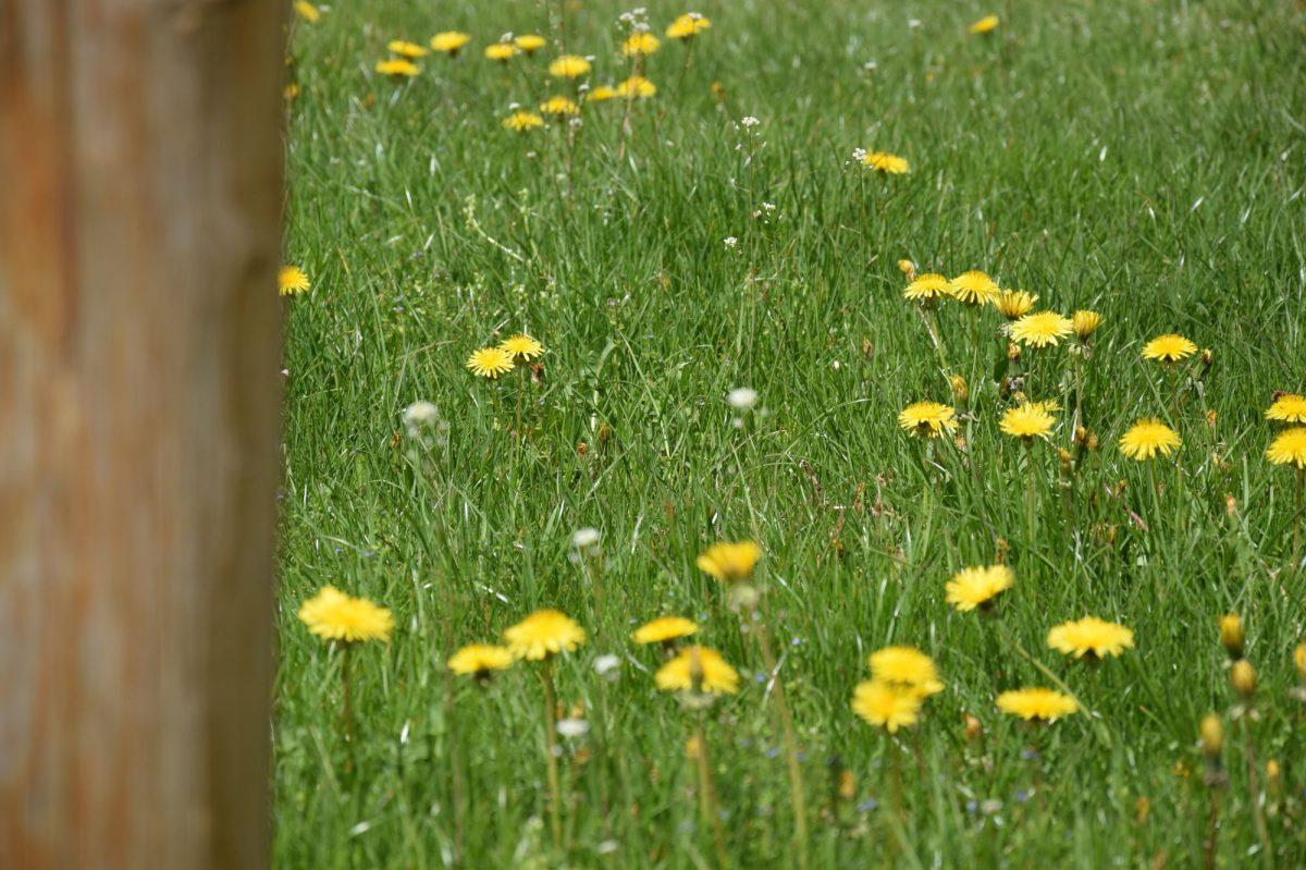 Bylinný trávník je čím dál tím více oblíbený pro svou nenáročnost