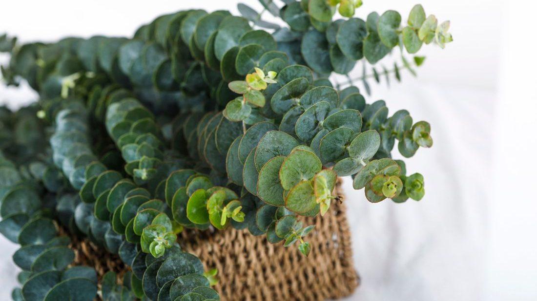 eucalyptus-1100x618.jpg