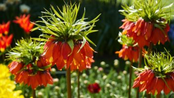 fritillaria-imperialis_shutterstock_644779282-352x198.jpg