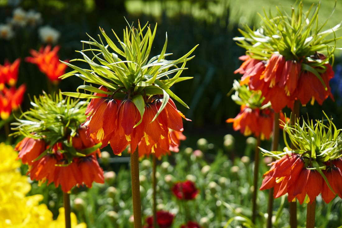 Fritillaria imperialis_shutterstock_644779282