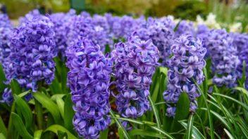 hyacint-1-352x198.jpg
