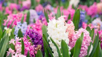 hyacint-352x198.jpg