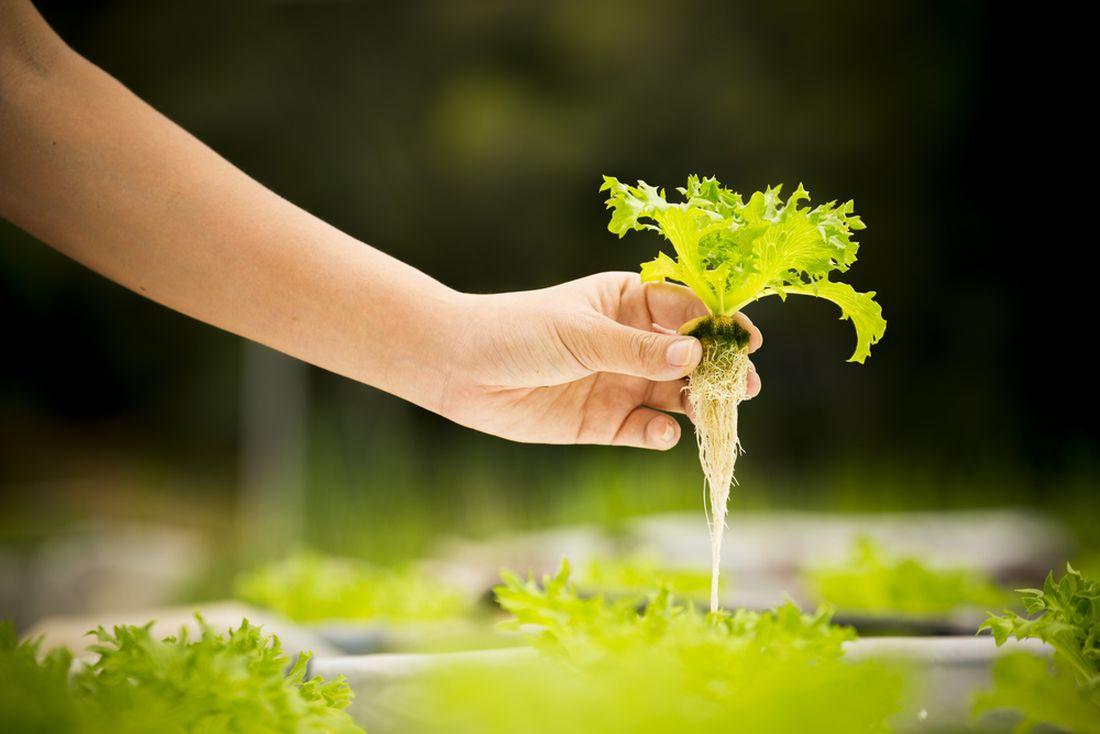 hydroponické pěstování_shutterstock_679583512