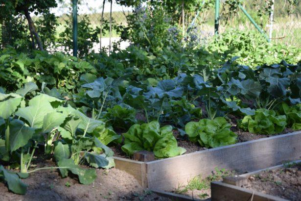 intenzivnim-pestovanim-zeleniny-muzme-pudu-casem-poskodit-je-tedy-treba-o-ni-peclive-pecovat-a-dodavat-do-ni-potrebne-latky-615x410.jpg