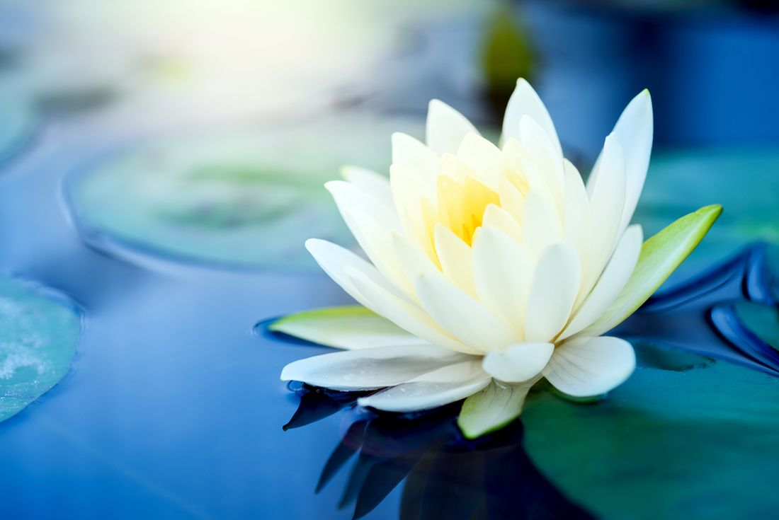 lotos leknín
