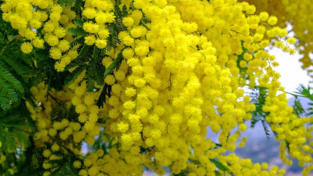 mimoza-1100x618.jpg