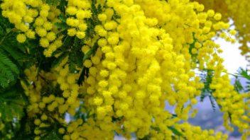 mimoza-352x198.jpg