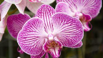 orchidej-352x198.jpg