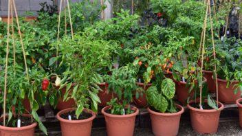 osivo-chilli-papricek-si-porizujte-u-specializovanych-pestitelu-ti-mohou-nabidnout-opravdu-bohaty-vyber-352x198.jpg