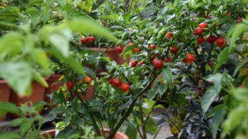papricky-nemusi-slouzit-pouze-na-doplneni-jidelnicku-jsou-to-i-zajimave-hrnkove-rostliny-na-terasu-i-domu-352x198.jpg