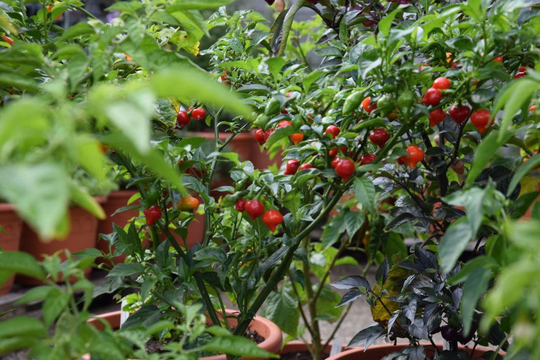 papricky-nemusi-slouzit-pouze-na-doplneni-jidelnicku-jsou-to-i-zajimave-hrnkove-rostliny-na-terasu-i-domu.jpg