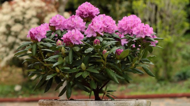 rododendron_-728x409.jpg