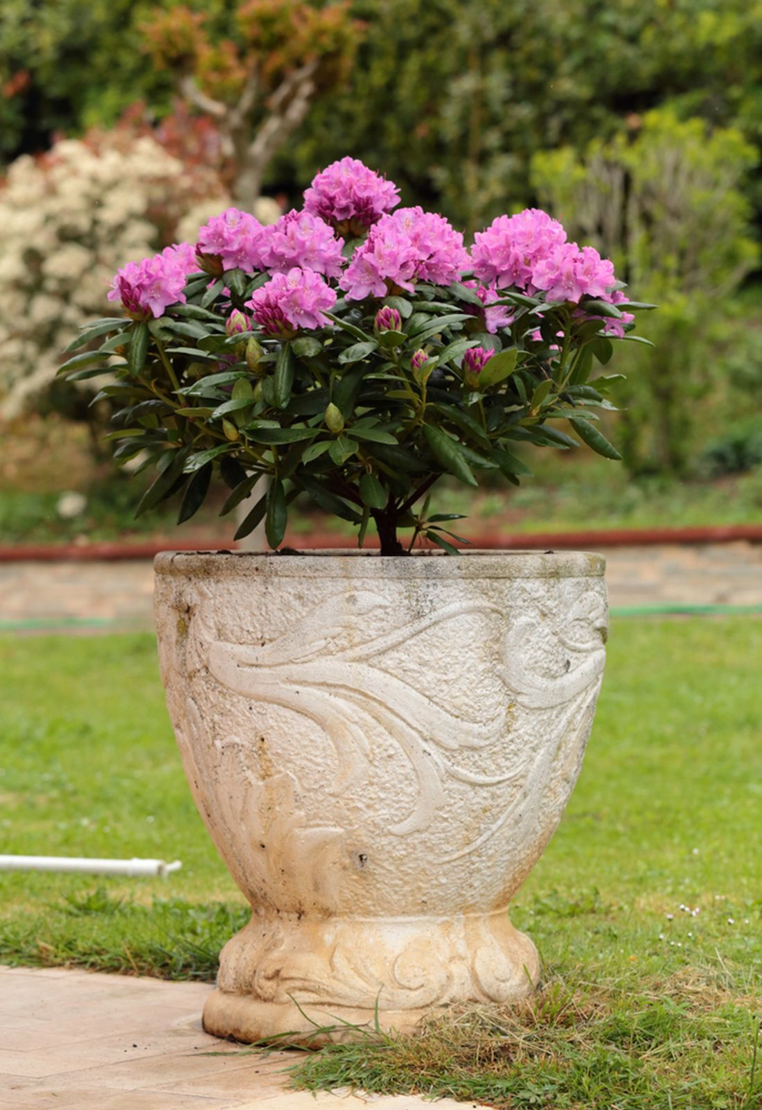 rododendron_