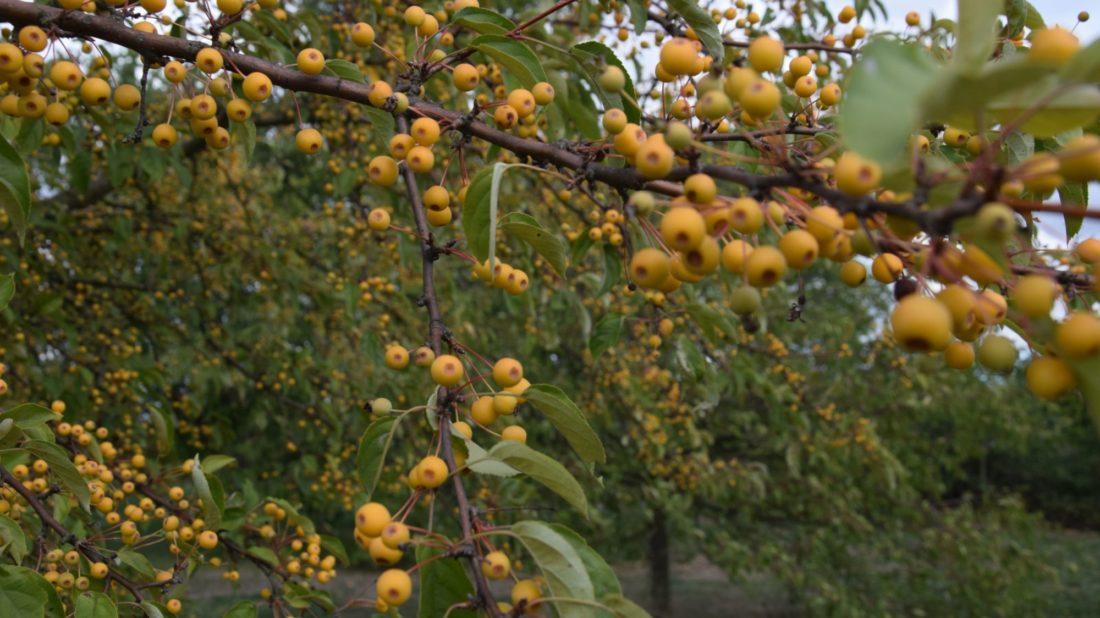 stromy-s-plody-dokazi-zahradu-doslova-rozzarit-jejich-nevyhodou-ale-muze-byt-znecisteni-zahradnich-cesticek-padajicimi-plody-1100x618.jpg