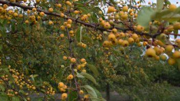 stromy-s-plody-dokazi-zahradu-doslova-rozzarit-jejich-nevyhodou-ale-muze-byt-znecisteni-zahradnich-cesticek-padajicimi-plody-352x198.jpg