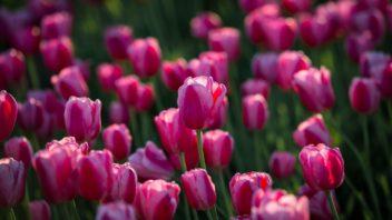 tulipan-352x198.jpg