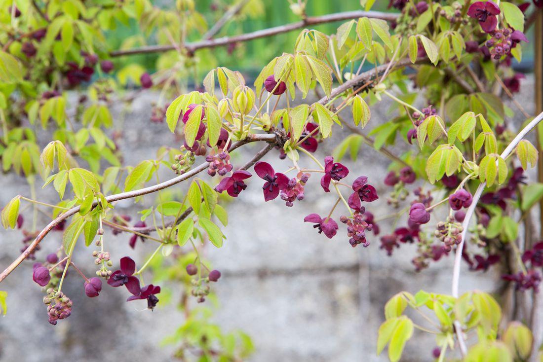 akébie pětičetná, Akebia quinata