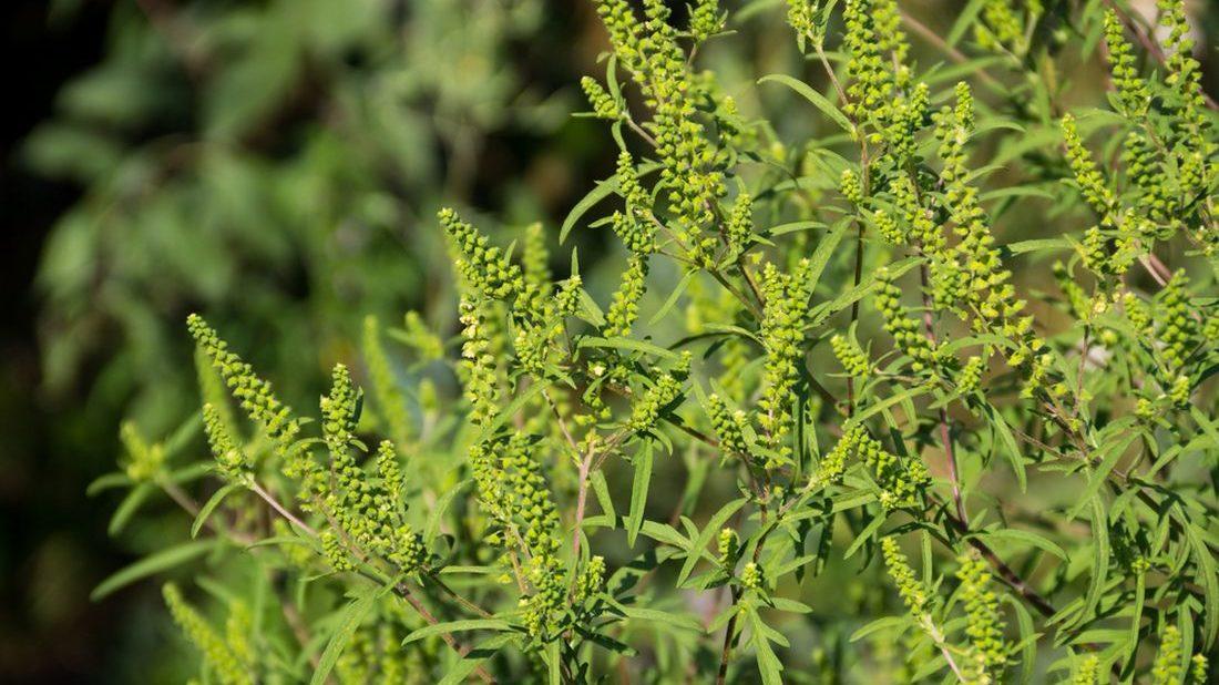 ambrosia-cernobylova-ambrosia-artemisiifolia-1100x618.jpg