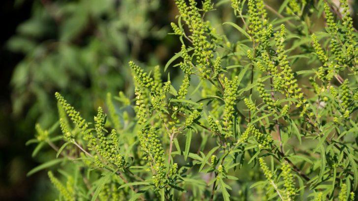 ambrosia-cernobylova-ambrosia-artemisiifolia-728x409.jpg