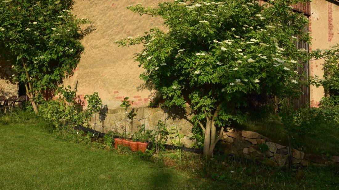 bezy-cerne-byvaji-castou-soucasti-zahrad-u-zemedelskych-usedlosti.-jejich-koreny-ovsem-casto-vrustaji-do-stavby-budov-1100x618.jpg
