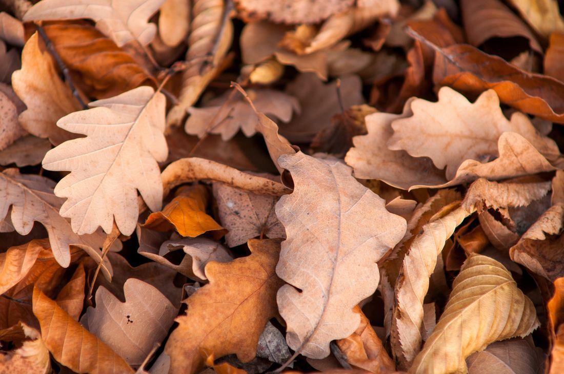 dubový list, dubové listí, podzimní listí