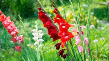 gladiol-mecik-gladiolus-352x198.jpg
