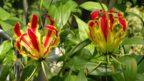 glorioza-gloriosa-rotschildiana-144x81.jpg
