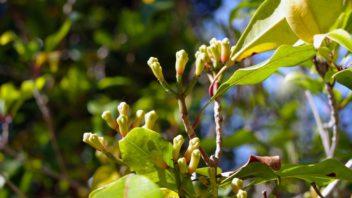 hrebickovec-vonny-syzygium-aromaticum-352x198.jpg